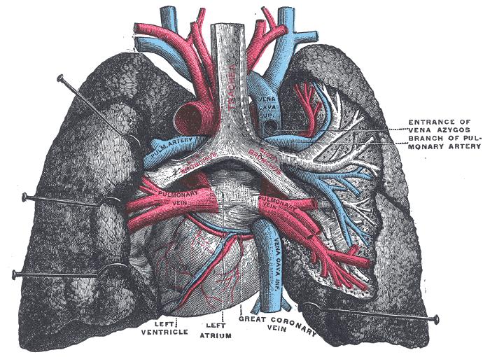 Lunge – COPD die Lungenwiki